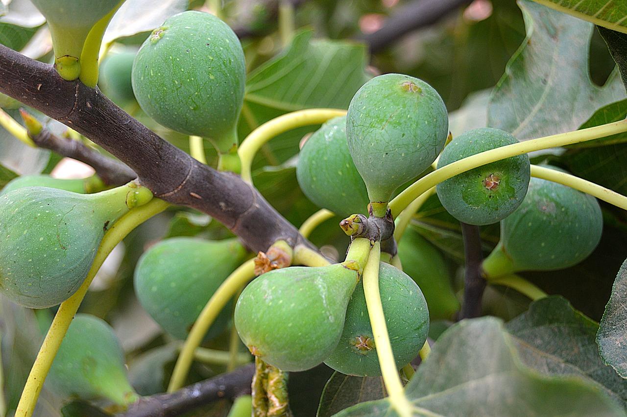 figs-2706820_1280